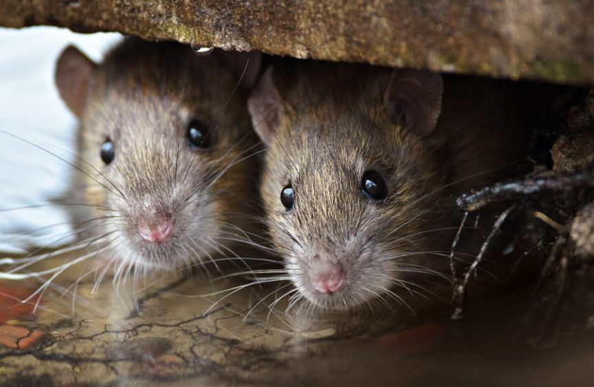 can-you-eat-rats-in-a-survival-situation